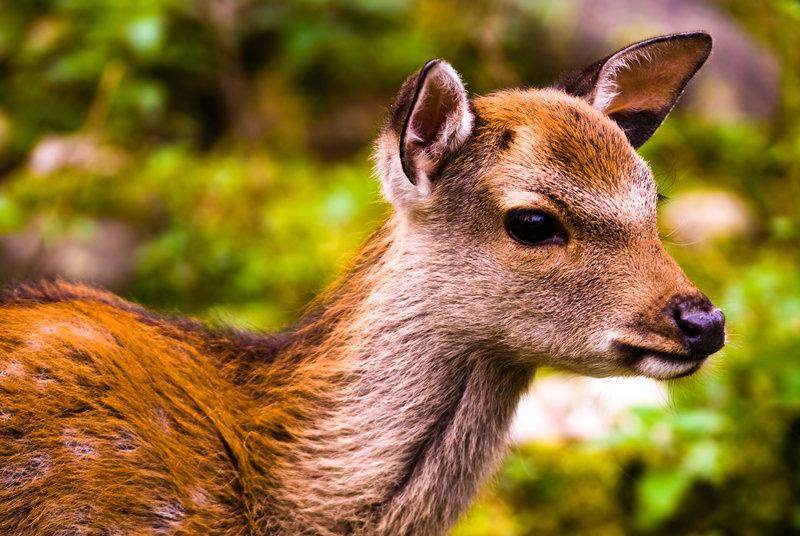 El canto de los ciervos en la Berrea obrará su magia en 8 meses
