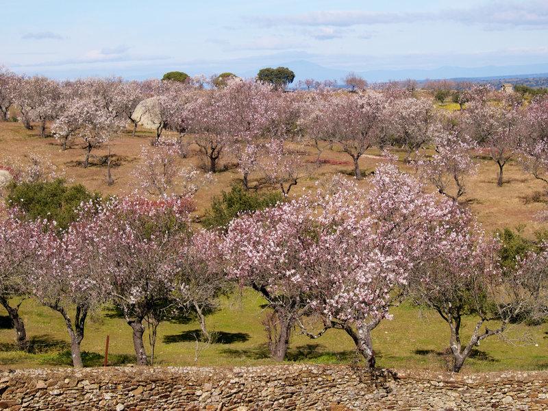 Garrovillas de Alconétar_ Muestra del Almendro en Flor