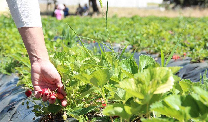 Recoge tus propias fresas en la Finca Monjarama