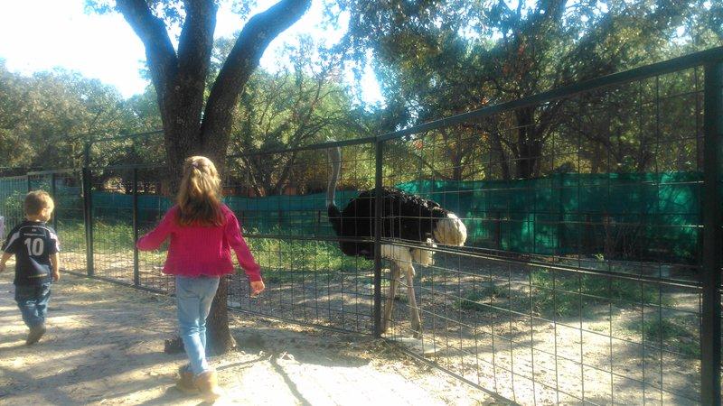 Paseando con el avestruz en la Granja El Álamo