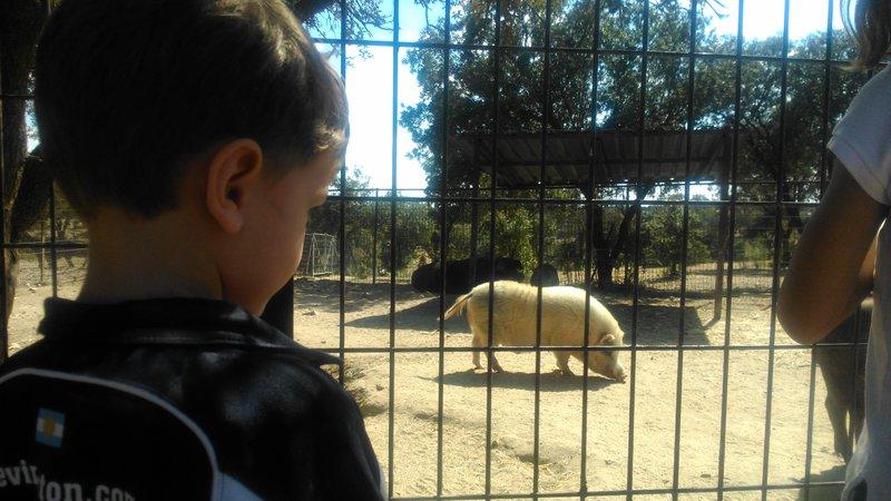 Visitando al cerdo más grande de España en la Granja El Álamo