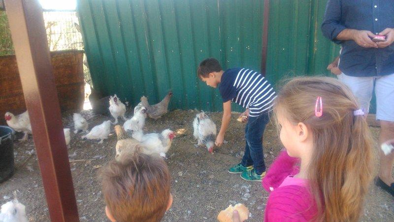 Dando de comer a las gallinas en la Granja El Álamo