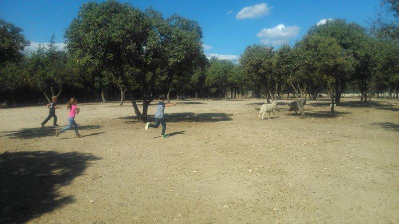 Con las ovejas en la Granja El Álamo